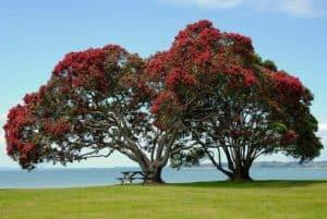 Pohutukawa, Auckland NZ